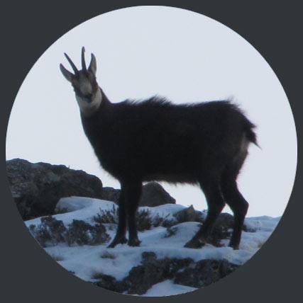 chamois-hunting