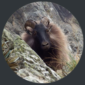 tahr-hunt-package