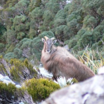 Young Tahr bull emerging from the scrubline